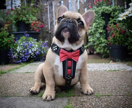 Harnesses for medium sized dogs