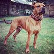 Bestia Hunter leather dog collar