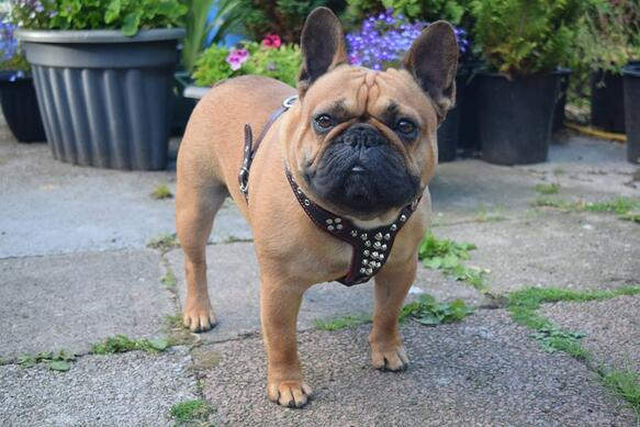 French Bulldog wearing the Bestia Rocky harness