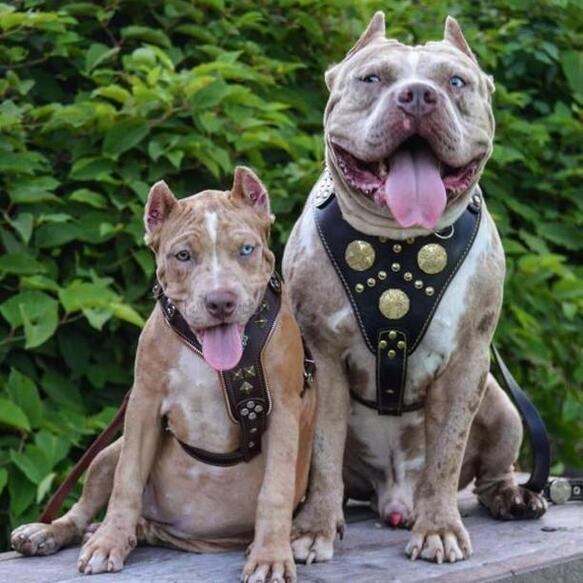 American Bully with Maximus harness
