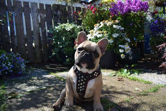 French Bulldog puppy wth Bestia studded leather harness