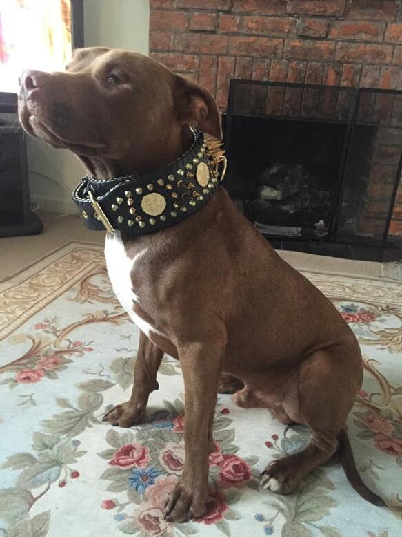 Pitbull with Bestia 3 inch show collar