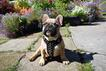 French Bulldog puppy with Bestia harness