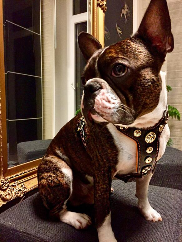 French Bulldog with Bestia Harness